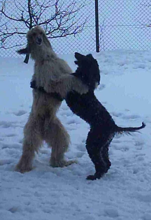 Afghan Hound Show Dogs