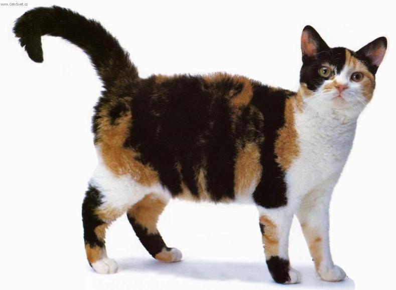 Photos: American Wirehair (Cat) (pictures, images)