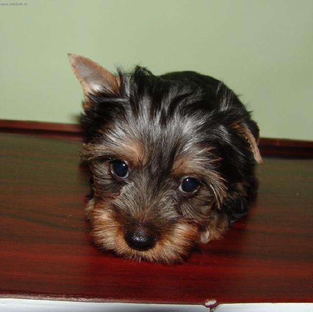 Photo Australian Silky Terrier Dog Standard Australian
