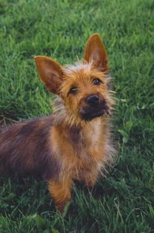 Photos: Australian terrier (Dog standard) (pictures, images)
