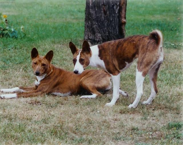 Photo Basenji (Dog standard) (Basenji)