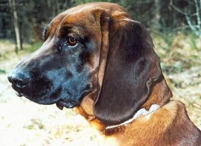 Photos: Bavarian mountain scenthound (Dog standard) (pictures, images)