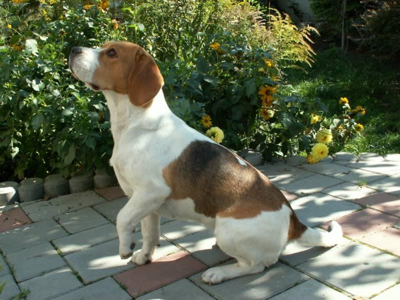 Photos: Beagle (Dog standard) (pictures, images)