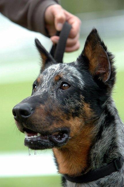 Dogs Ears Cropped Uk