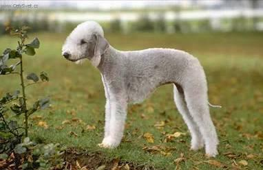 Photos: Bedlington terrier (Dog standard) (pictures, images)