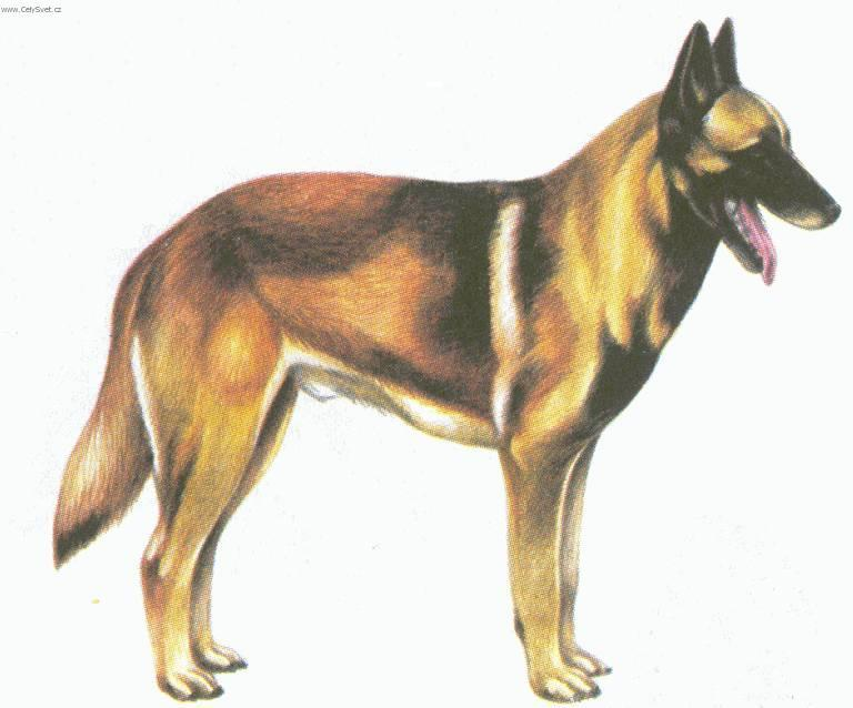 Photos: Belgian shepherd malinois (Dog standard) (pictures, images)