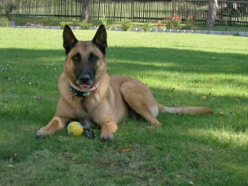 shepherd malinois dog standard article belgian shepherd malinois dog ...