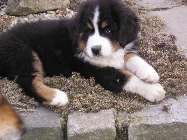 Bernese mountain dog (dog standard) (berner sennenhund)