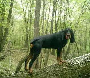 Photo Black And Tan Coonhound Dog Standard Black And