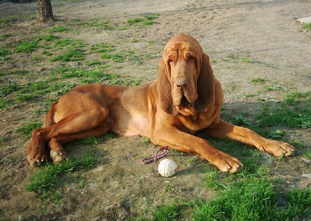 Puppy World: Bloodhound Puppy Pictures