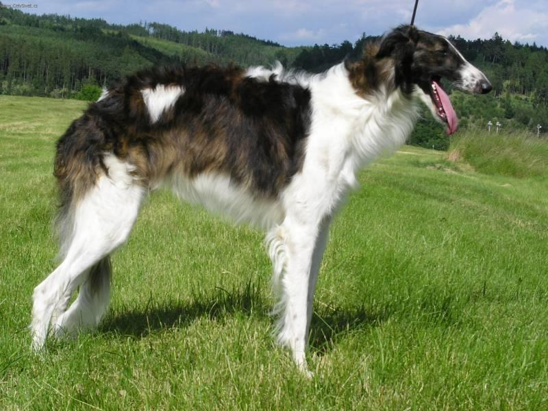 Photos: Borzoi - russian hunting sighthound (Dog standard) (pictures, images)