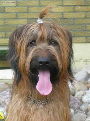 Brie Bella Dog Breed
