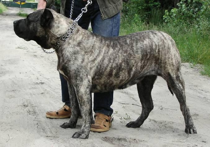 Photos: Canarian dog (Dog standard) (pictures, images)