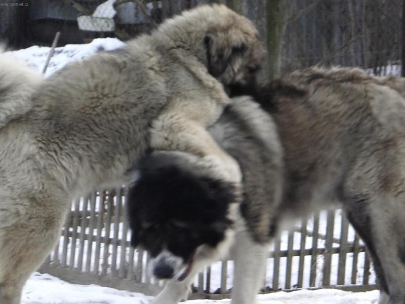 Photo Caucasian shepherd (Dog standard) (Kavkazskaia ...