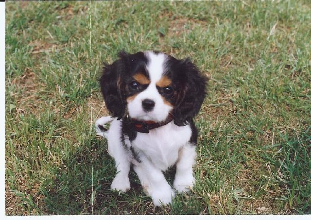 Cavalier King Charles Spaniel Dog Standard