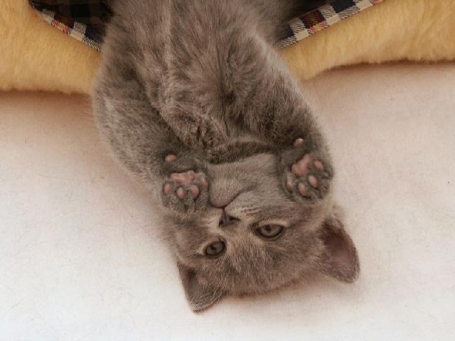chartreux-cat-3.jpg