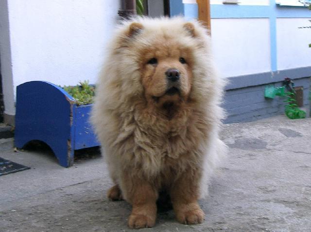 Chow chow (Dog standard) (Chow Chow)