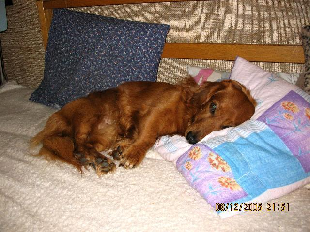 Photo Dachshund (teckel) (Dog standard) (Dachshund)