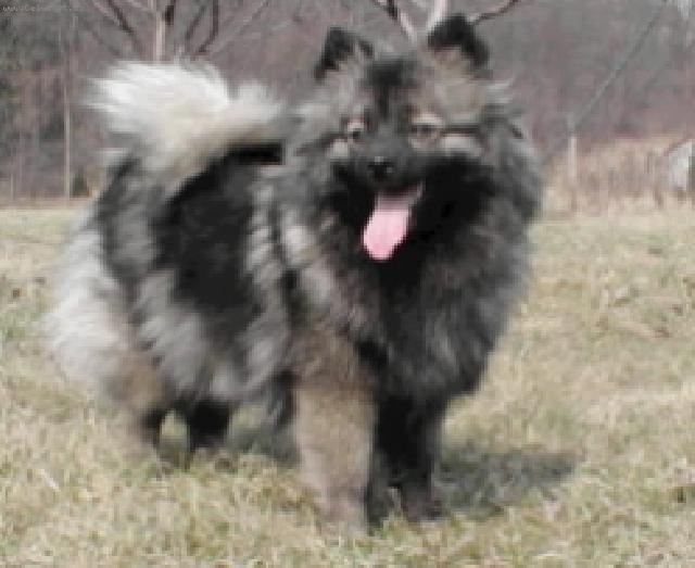 ... ) (Deutscher spitz - Mittelspitz, German Spitz – Medium size Spitz