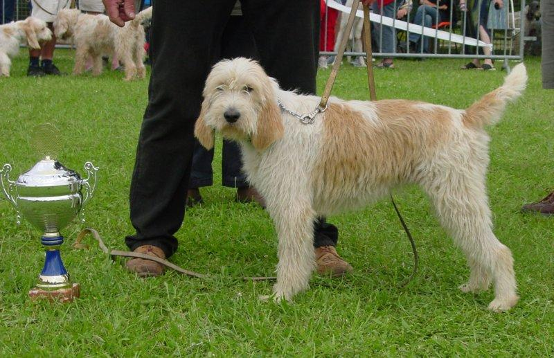 Photo Grand Griffon Vendeen Dog Standard Grand Griffon