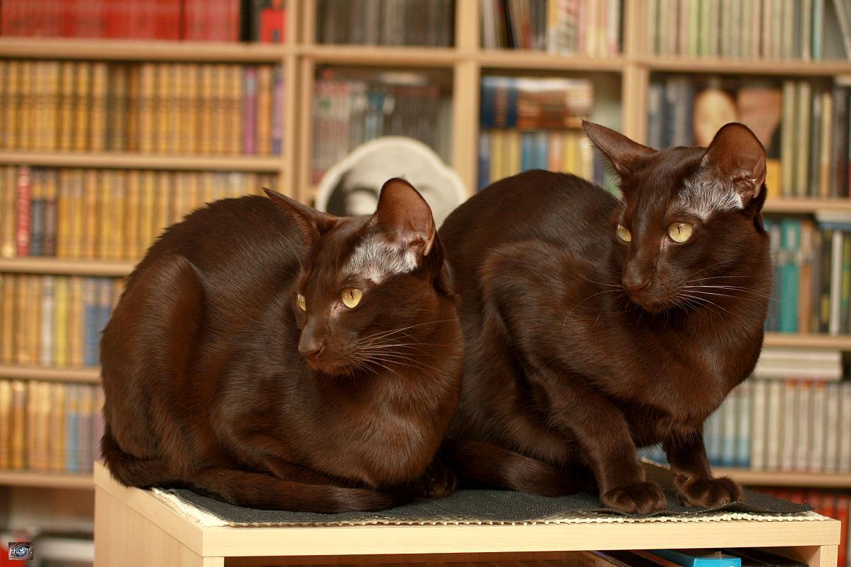 havana brown cat havana cat