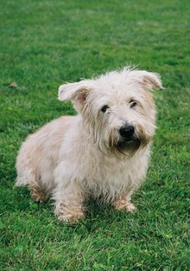 Irish glen of imaal terrier (Dog standard) (Irish Glen of Imaal terier ...