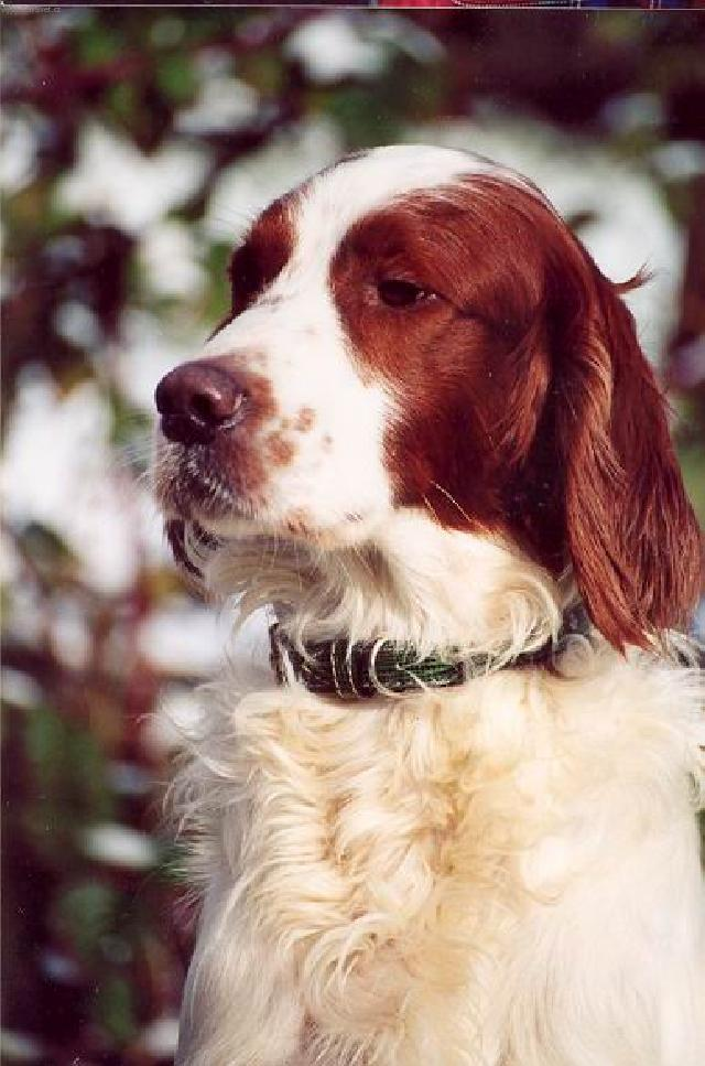 Photos: Irish red and white setter (Dog standard) (pictures, images)