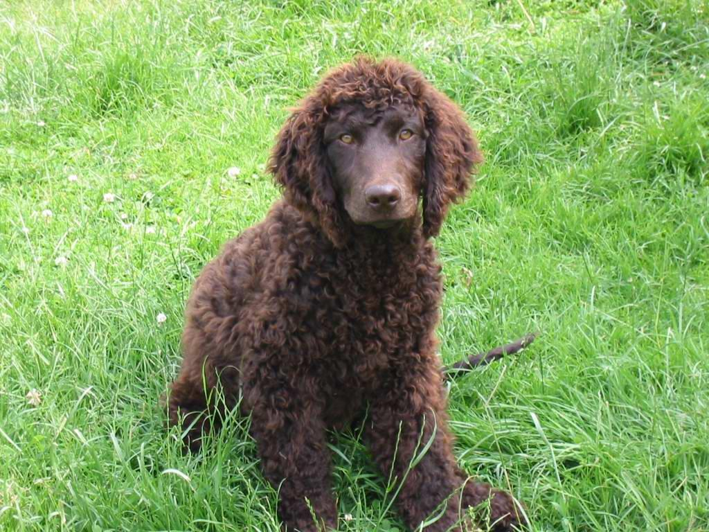 Photos: Irish water spaniel (Dog standard) (pictures, images)