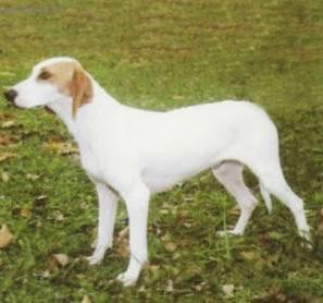 Photos: Istrian short-haired scent hound (Dog standard) (pictures, images)