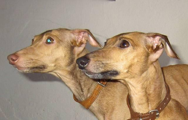 Photos: Italian greyhound (Dog standard) (pictures, images)