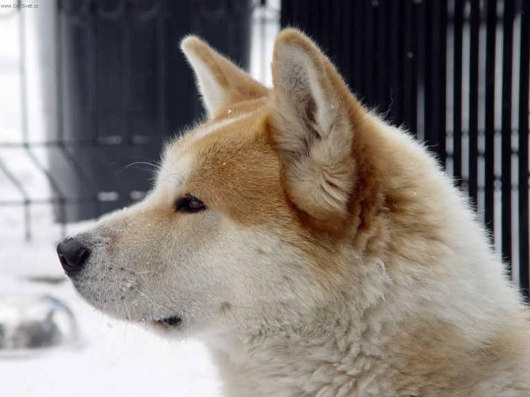 Giant Japanese Akita Dogs