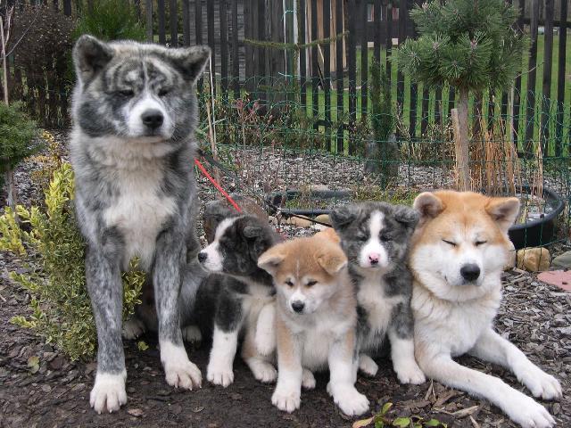 Photo Japanese akita (Dog standard) (Japanese Akita)