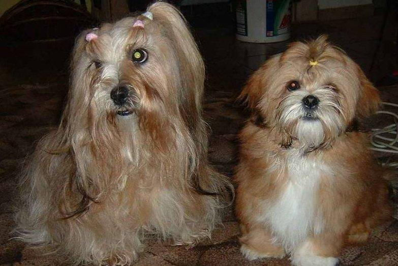 Photos: Lhasa apso (Dog standard) (pictures, images)