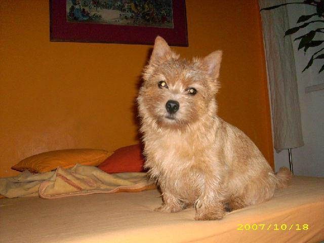 Photo Norwich Terrier Dog Standard Norwich Terrier
