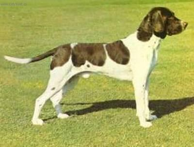 Photos: Old danish pointing dog (Dog standard) (pictures, images)