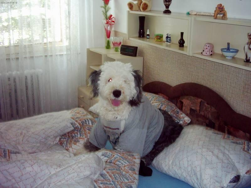 old english sheepdog bobtail dog standard old english sheepdog