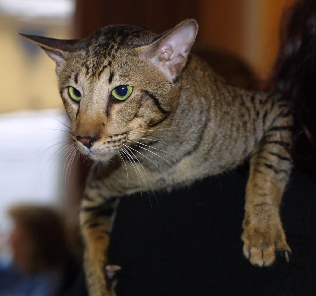 Photo Oriental Shorthair Cat Oriental Shorthair Cat