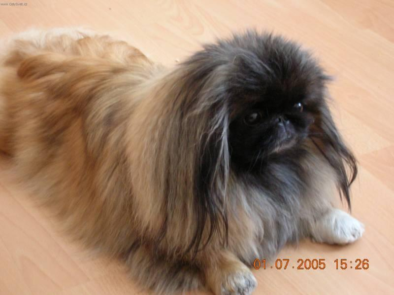 Photos: Pekingese (Dog standard) (pictures, images)