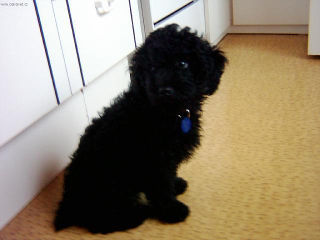 Photo Poodle Caniche Dog Standard Poodle Caniche
