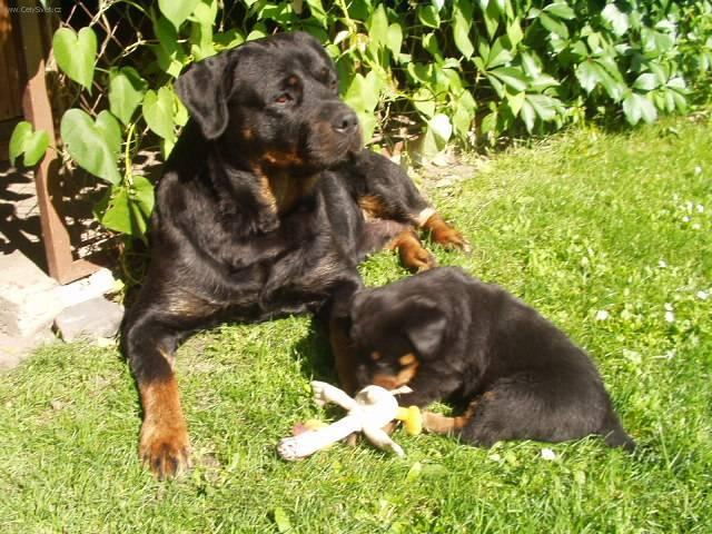 Photos Rottweiler Dog Standard Pictures Images