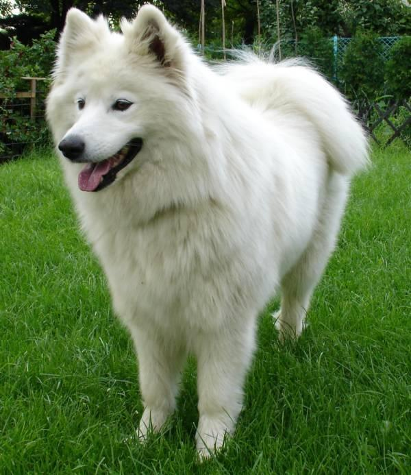 Photo Gallery (pictures, images): Samoyed (Dog standard)