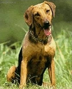 Photos: Serbian hound (Dog standard) (pictures, images)