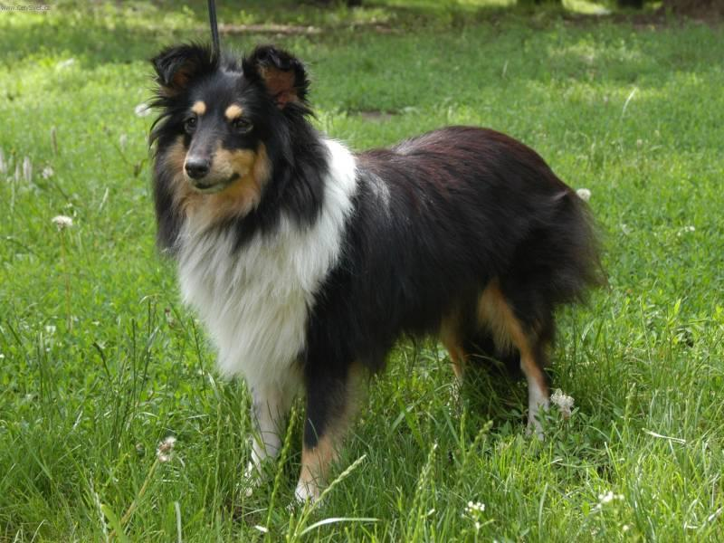 Photo Shetland sheepdog (Dog standard) (Shetland Sheepdog)