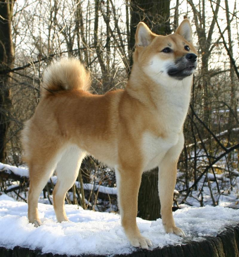 Breeds developed from dog