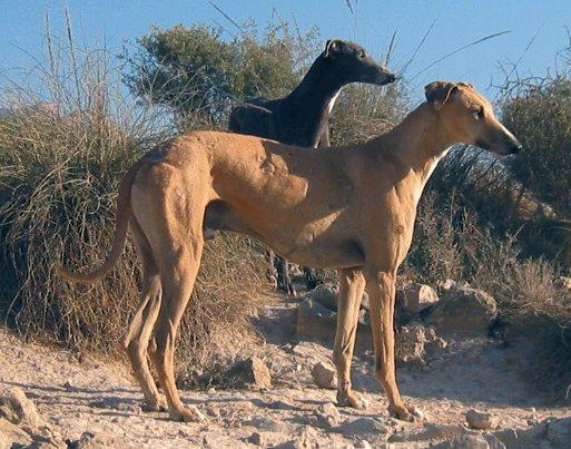 Photos: Spanish greyhound (Dog standard) (pictures, images)