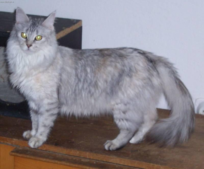 Turkish Angora (Cat) (Turkish Angora Cat)