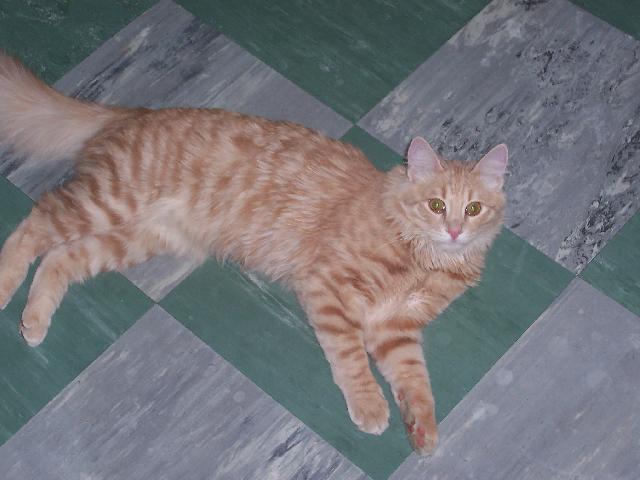 Turkish Angora (Cat) (Turkish Angora Cat)
