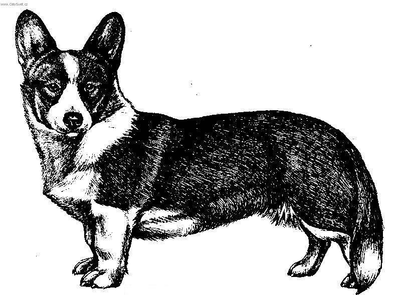 Photos: Welsh corgi cardigan (Dog standard) (pictures, images)