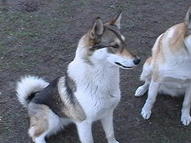Photo West siberian laika (Dog standard) (West Siberian Laika)