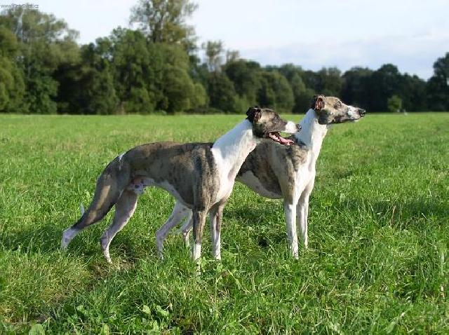 Photo Whippet (Dog standard) (Whippet)